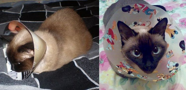 Послеоперационный воротник для кота из картона