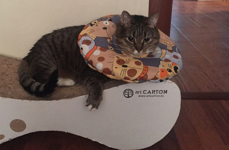 Кот в защитном мягком воротнике
