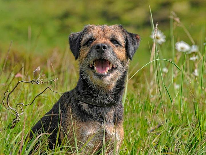 Бордер-терьер в траве