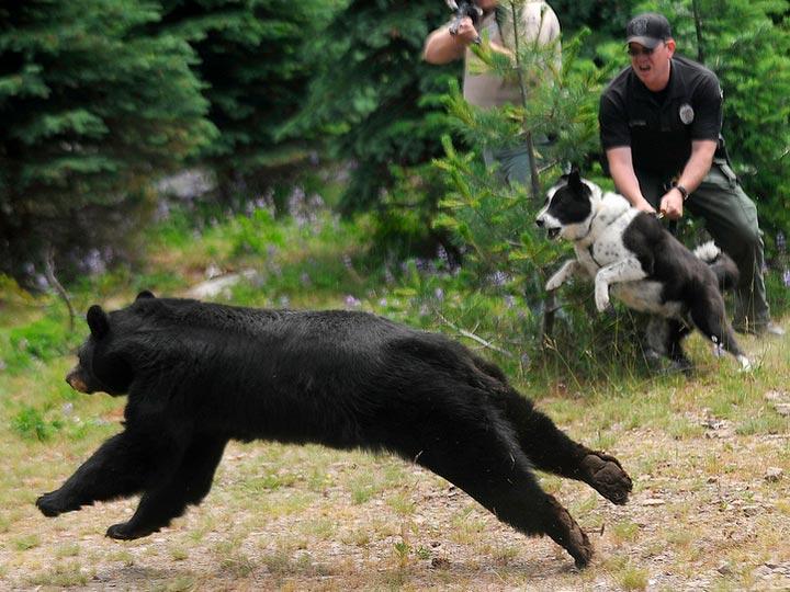 Карельская медвежья собака в Америке