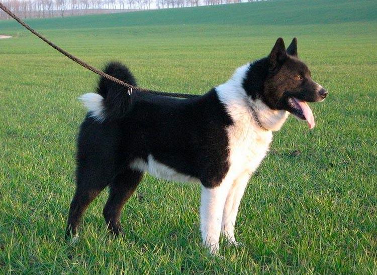 Карельская медвежья собака стандарт