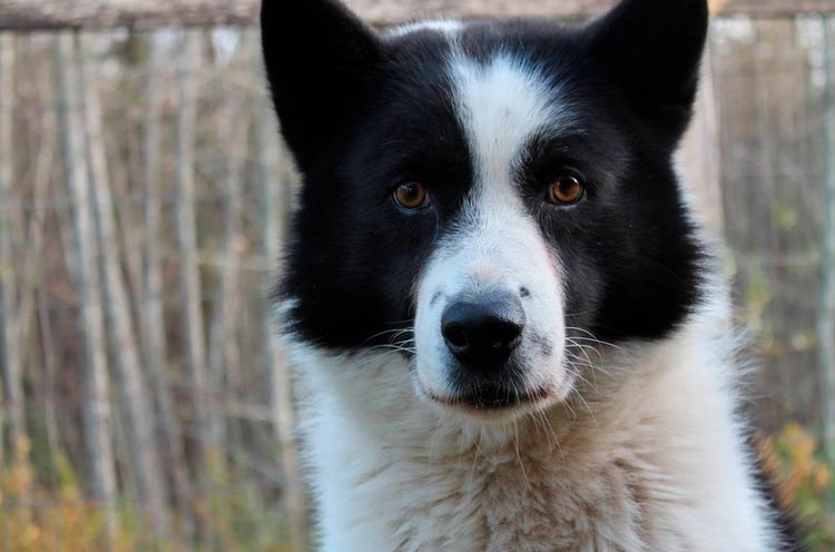 Карельская медвежья собака фото