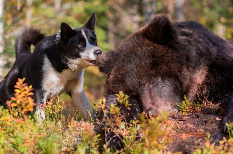 Карельская медвежья собака на охоте