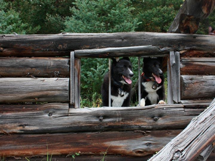 Карельская медвежья собака характер