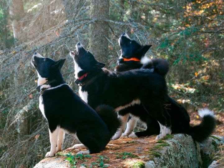 Карельские медвежьи собаки в лесу