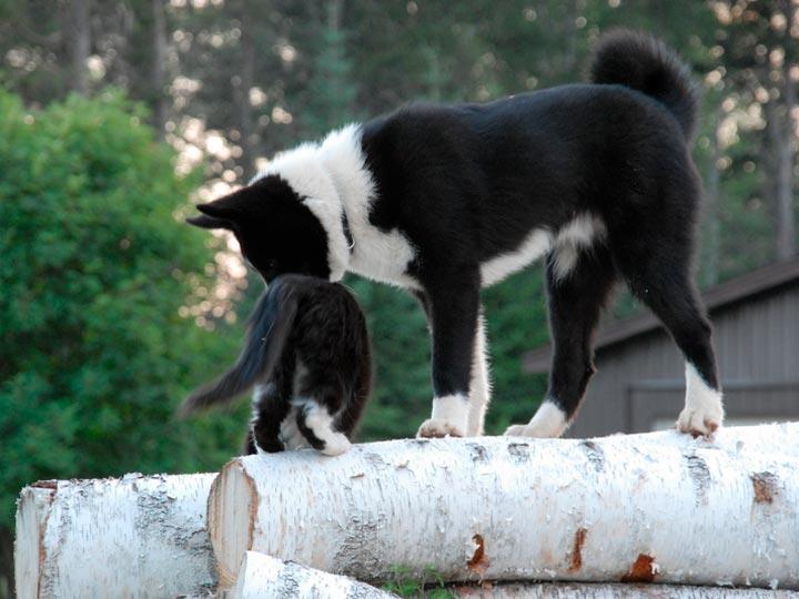 Карельская медвежья собака и кот