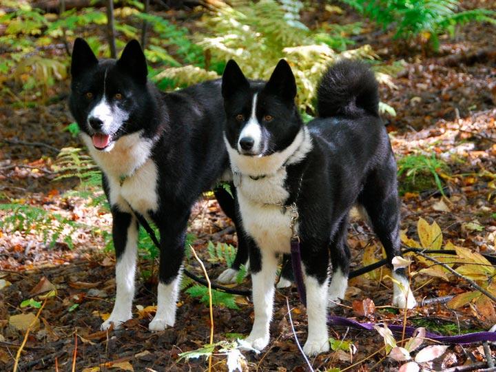 две Карельские медвежьи собаки