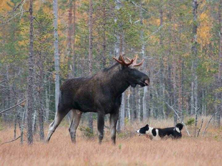 Карельская медвежья собака и лось