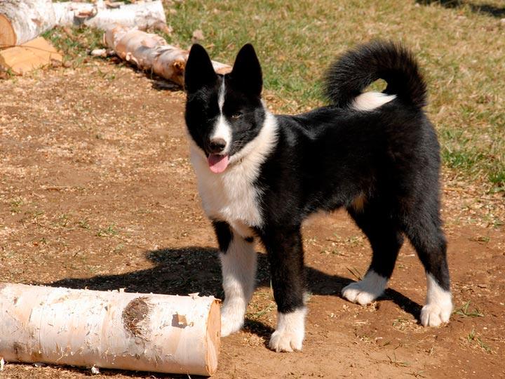 Карельская медвежья собака порода