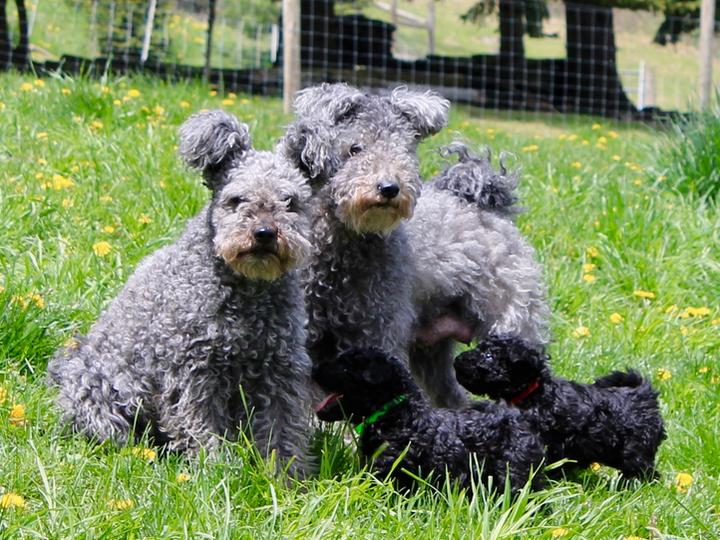 пара пуми со щенками