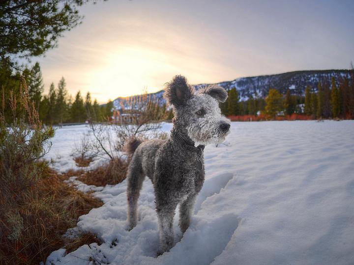 порода собак пуми