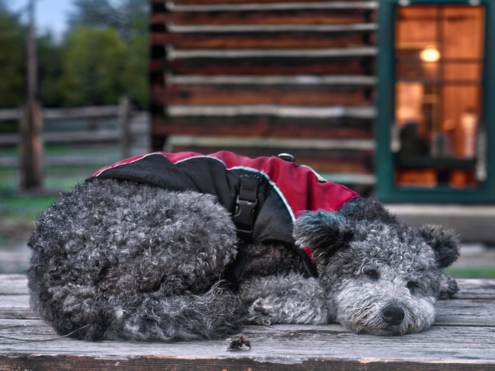 Собака породы пуми