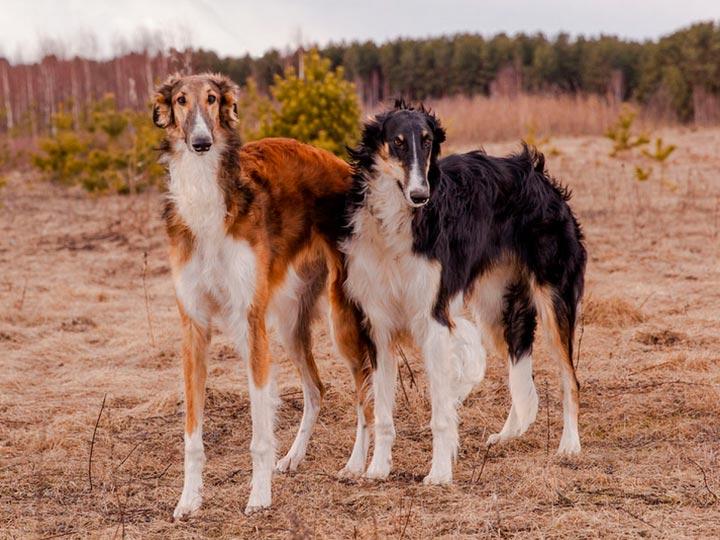 две русские псовые борзые