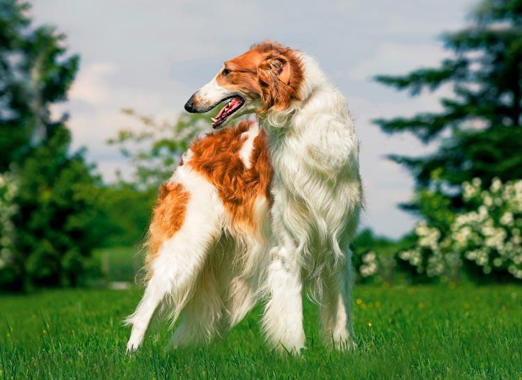 Руска кучешка хрътка