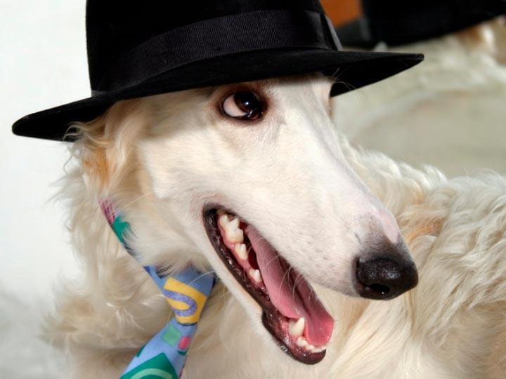 Русская псовая борзая в шляпе