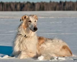 Русская псовая борзая на снегу