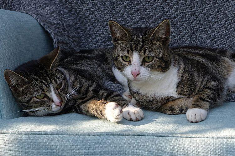 Два домашних кота