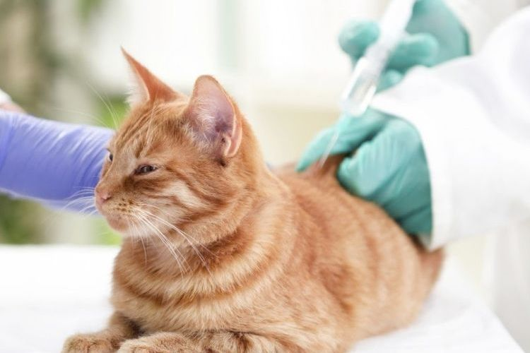 Инъекция коту