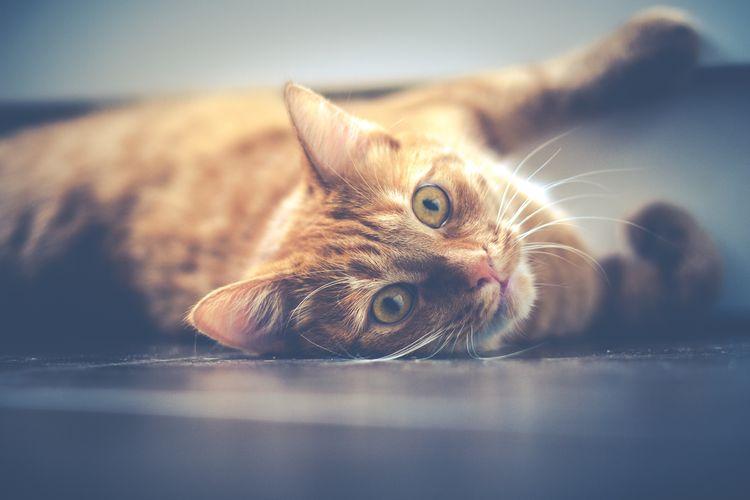 Рыжий спокойный кот