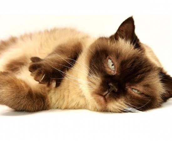 Сиамская кошка после вязки