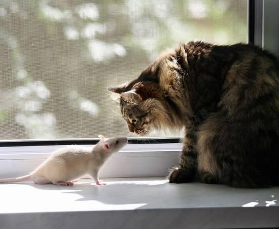 Кошка нюхает крысу