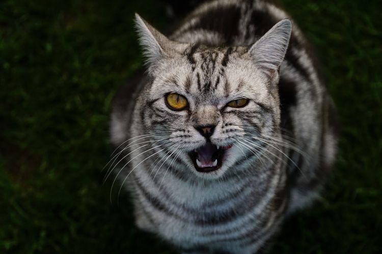 Крысолов кошка порода