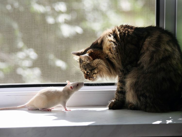 Какие кошки лучше ловят крыс и мышей