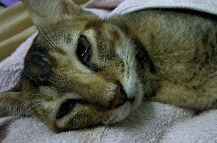 Лейкемия у кота