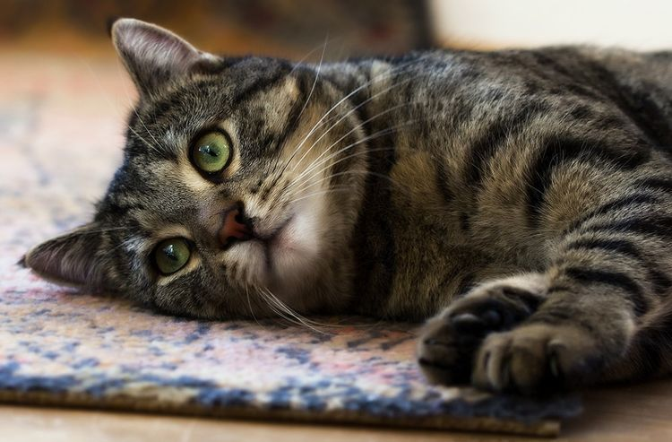Лимфома у кошек
