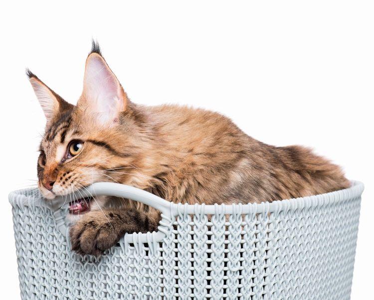 Кот грызет корзину