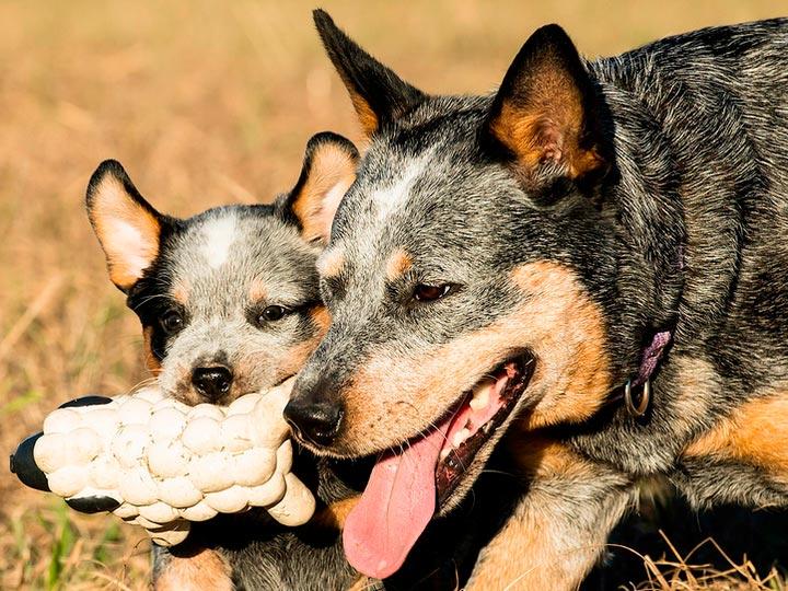 Австралийский хилер со щенком