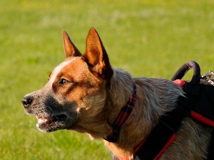 пастушья собака Австралийский хилер