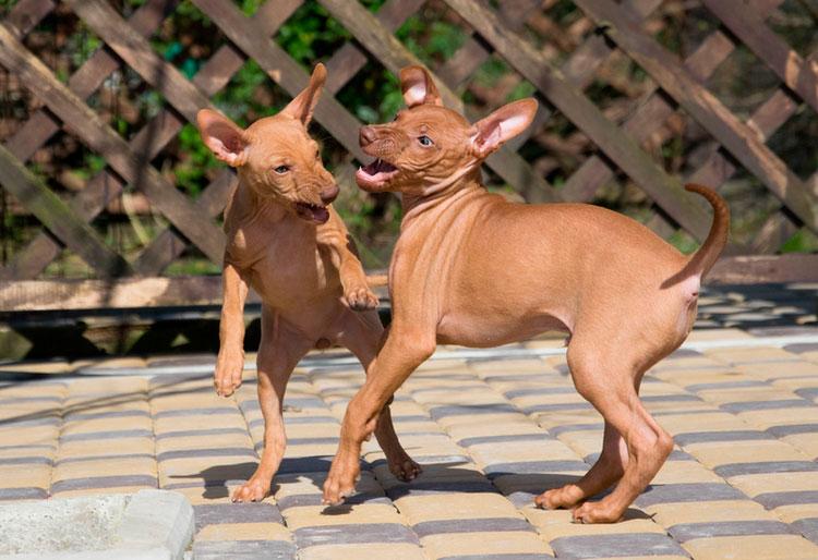 два щенка Чирнеко дель Этна