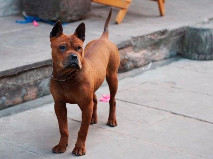 собака с синим языком чунцин