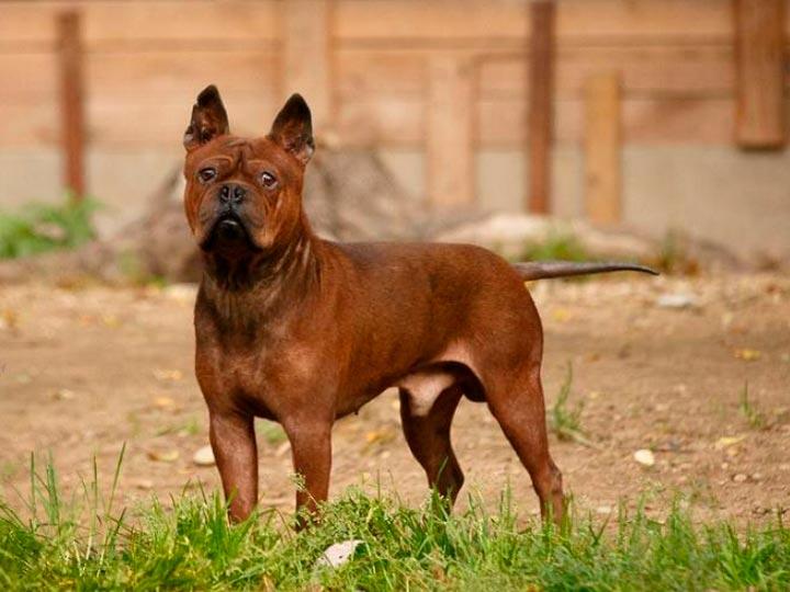 собака породы чунцин