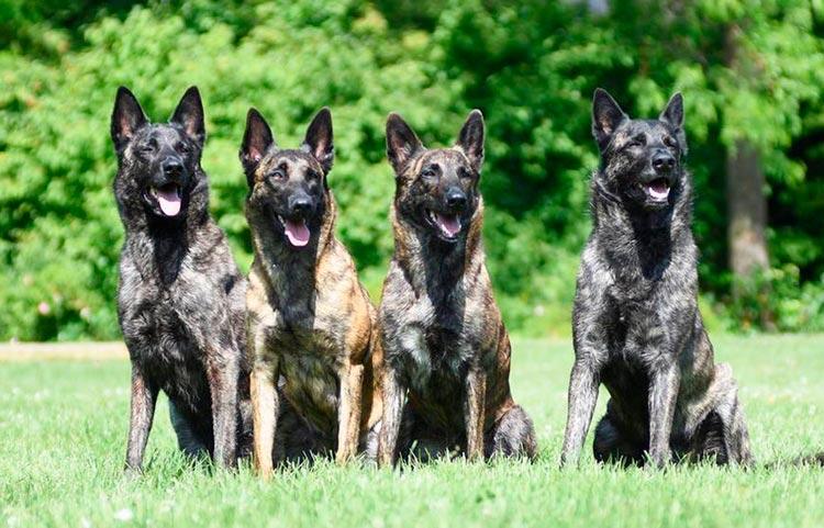 порода собак голландская овчарка
