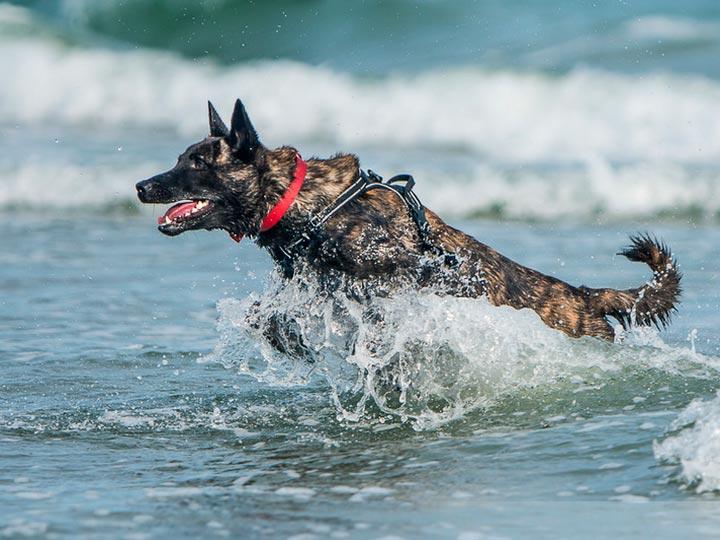 собака породы голландская овчарка