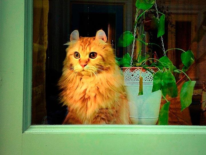 кот кошка с загнутыми ушами