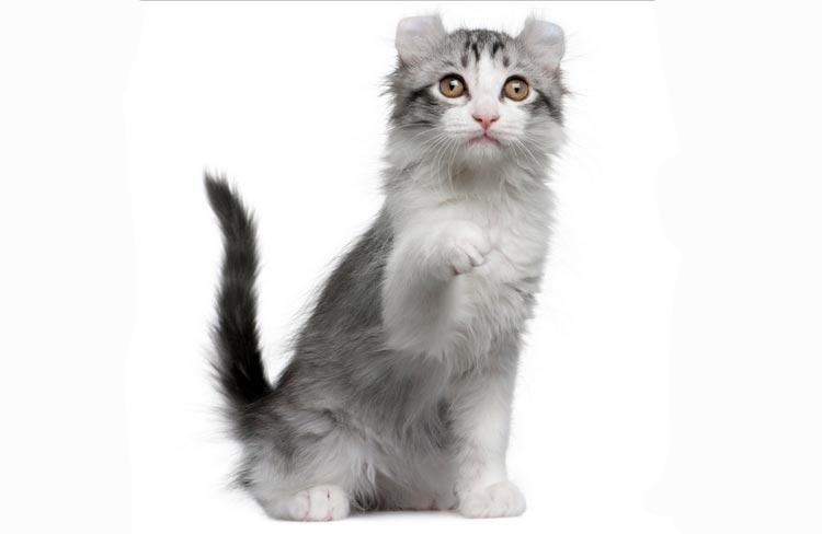 порода кошек кинкалоу
