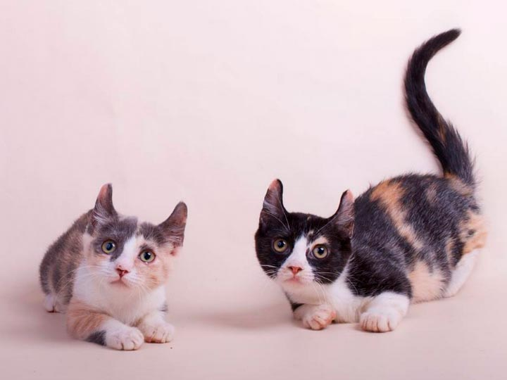 две кошки породы кинкалоу