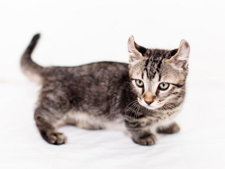 котенок породы кинкалоу