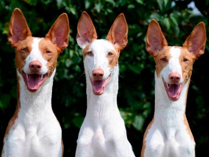 три собак ибизана