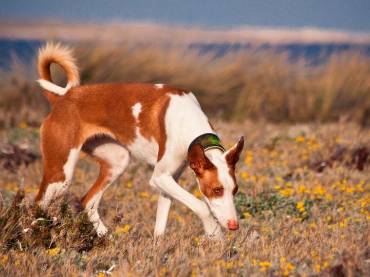 собака породы поденко ибиценко