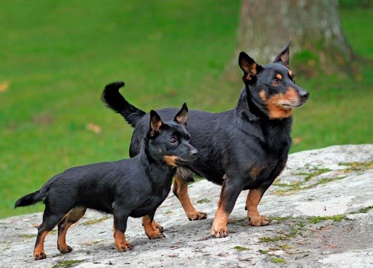 ланкаширский хилер со щенком