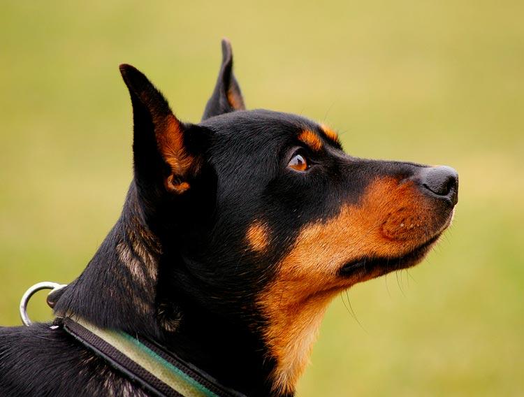 порода собак ланкаширский хилер