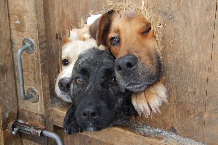 Собаки выглядывают в дырку в заборе