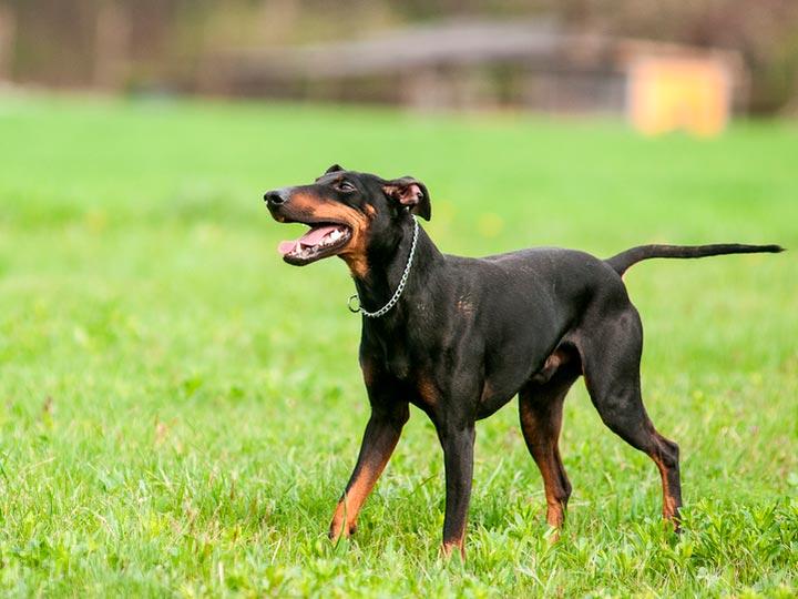 собака породы манчестер терьер