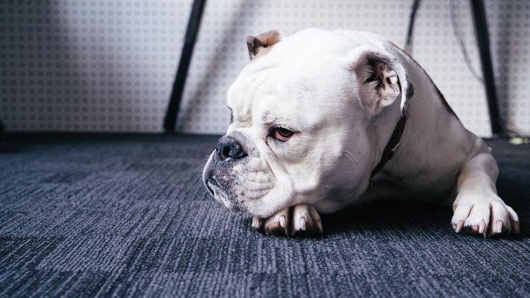 Собака лежит на полу