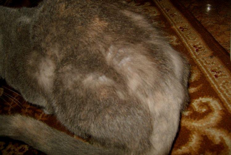 Если кот облезает и похудел