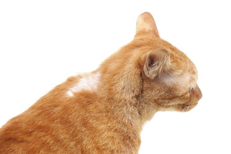Рыжий кот лысеет